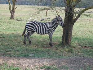 Kenya Zebra